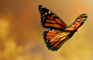 Monarch butterfly in front of blurry orange background